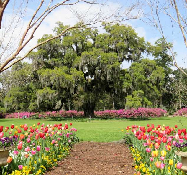 Airlie Oak and Tulips in Spring