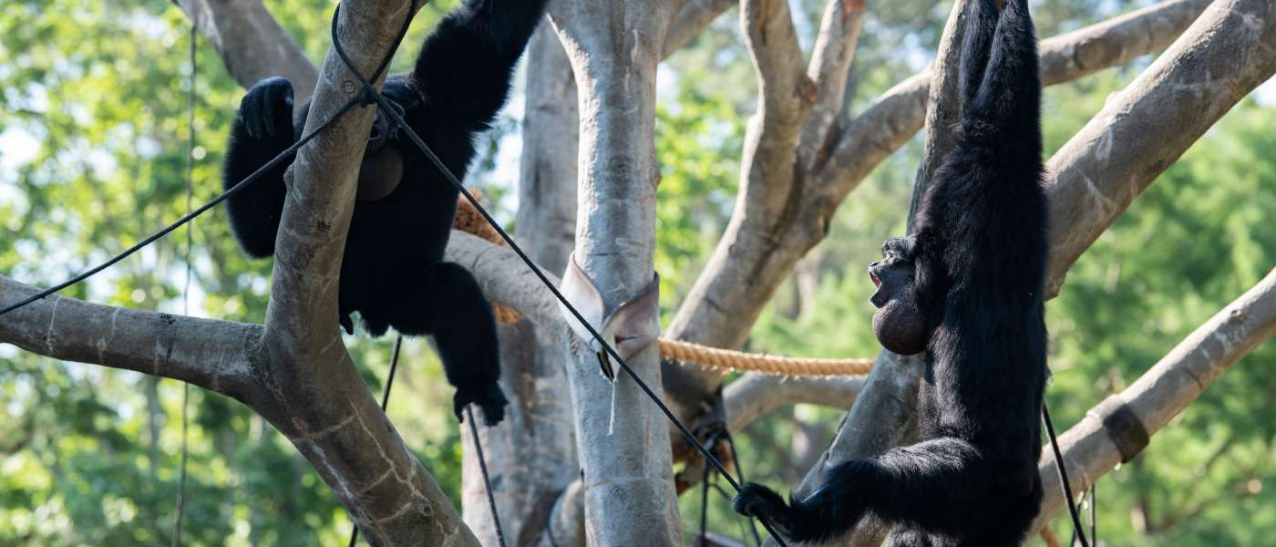 Monkeys swinging from trees