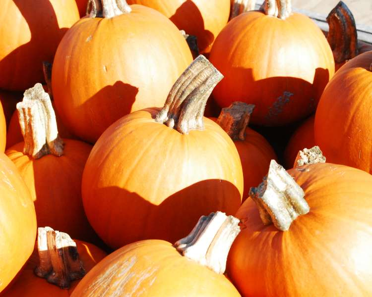 Pumpkins at Dame Farm & Orchards in Rhode Island