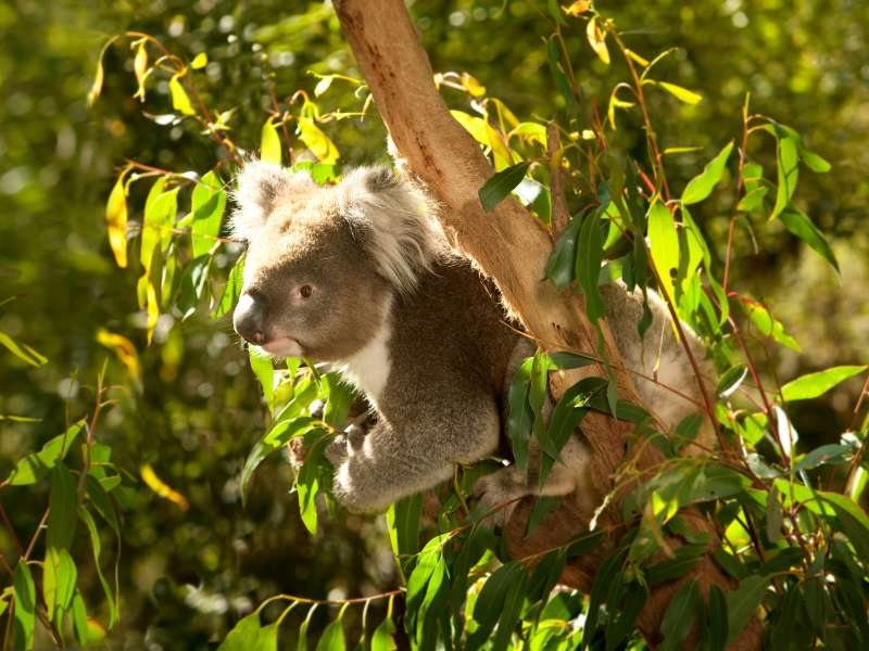 Koala in a tree in Melbourne, Victoria, Australian wildlife
