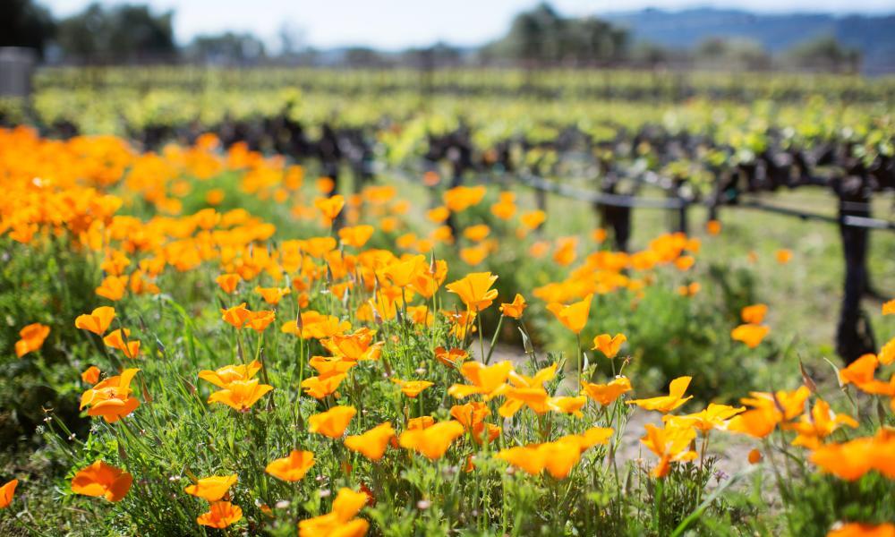 Spring flowers in Napa Valley vineyard