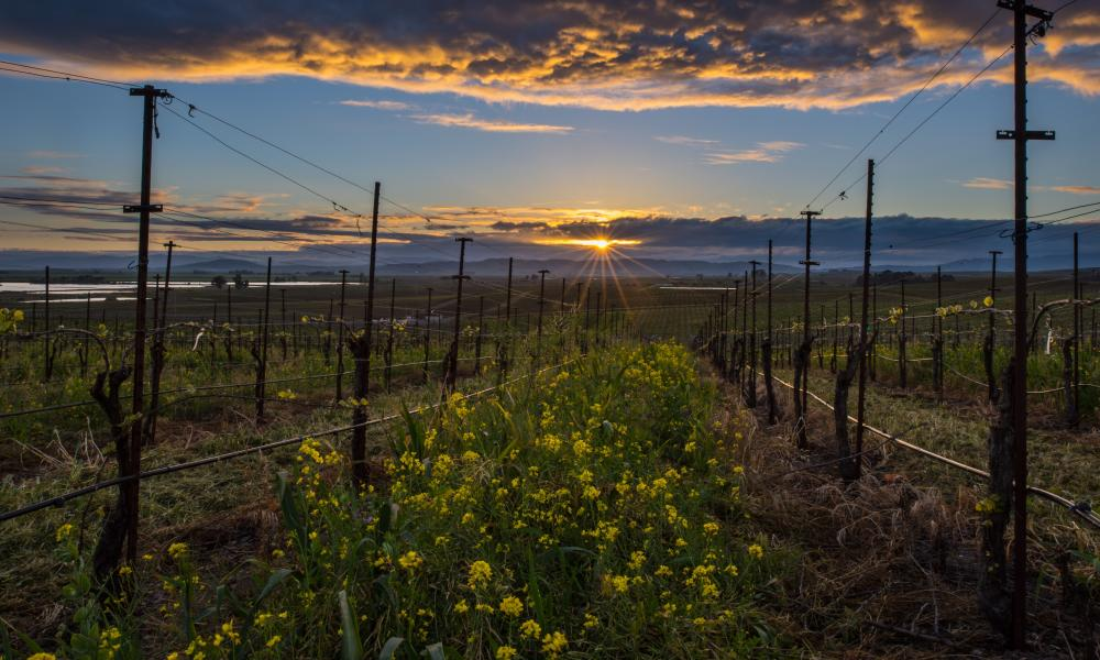 Mustard vineyard in Napa Valley in winter
