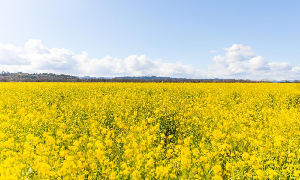 Winter Mustard in Napa Valley