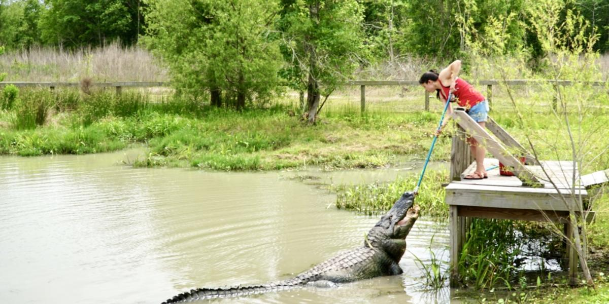 Person feeding a gator at gator country in Beaumont, TX