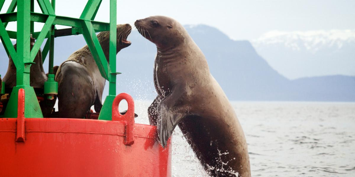Sea Lions on a Buoy