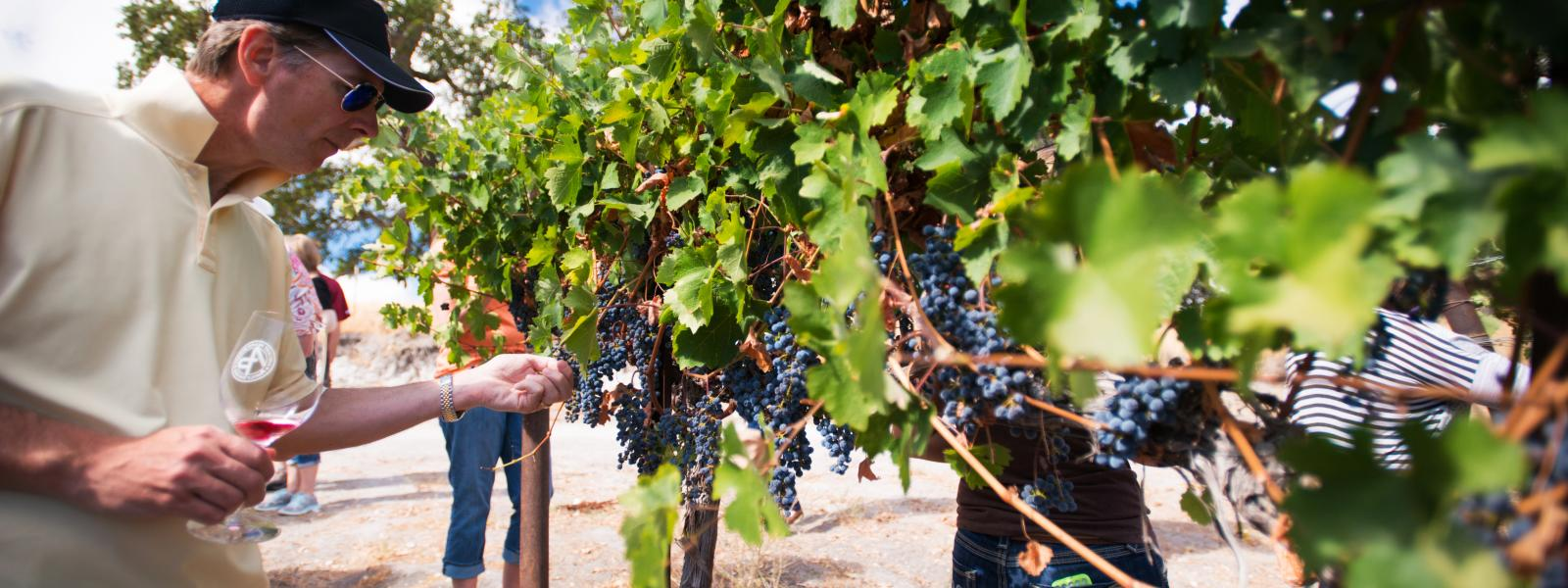 A man picking grapes at SLO Cal vineyard
