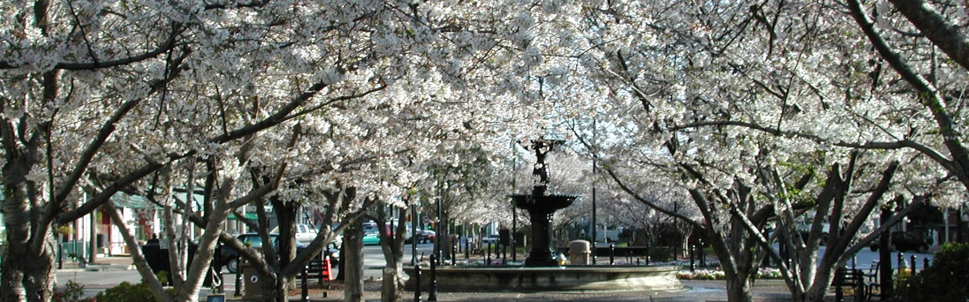 Cherry Blossoms-Macon