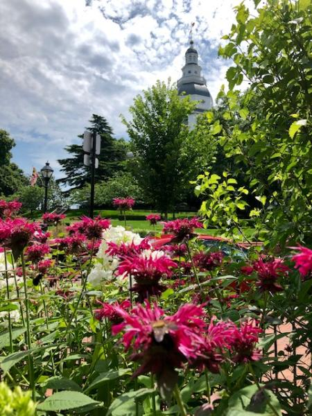 Bee balm flowers at Annapolis Green