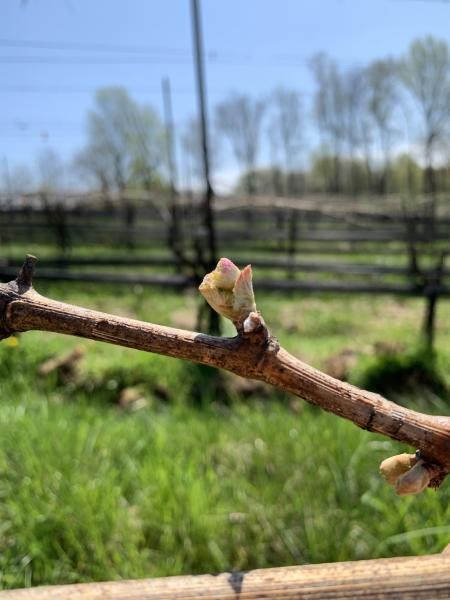 Bud break on a vine at the Vineyards at Dodon.