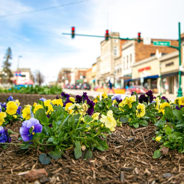 Pansies on The Square in spring