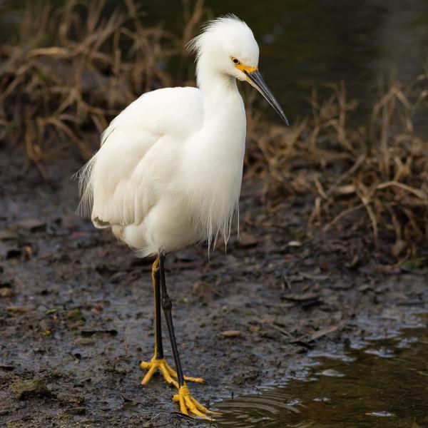 snowy egret - bird watching sandy