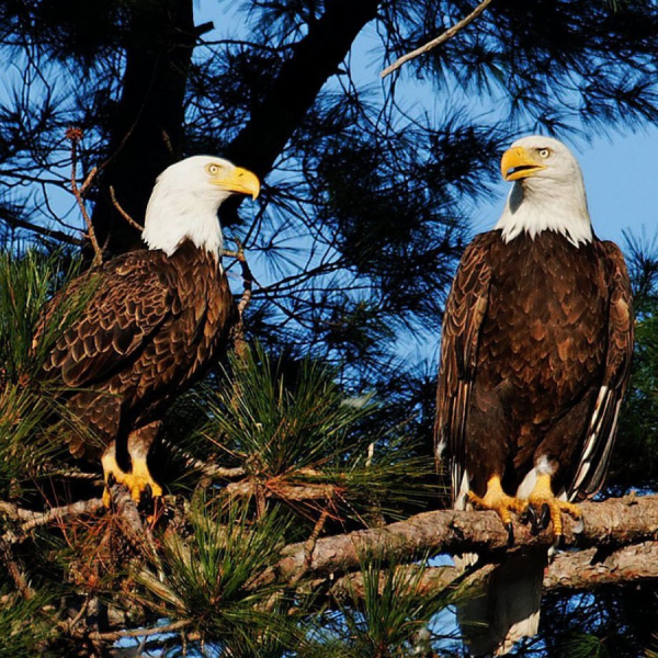 Eagles, outdoors, trees