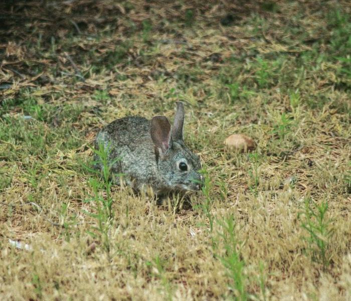 rabbitt laguna seca wildlife