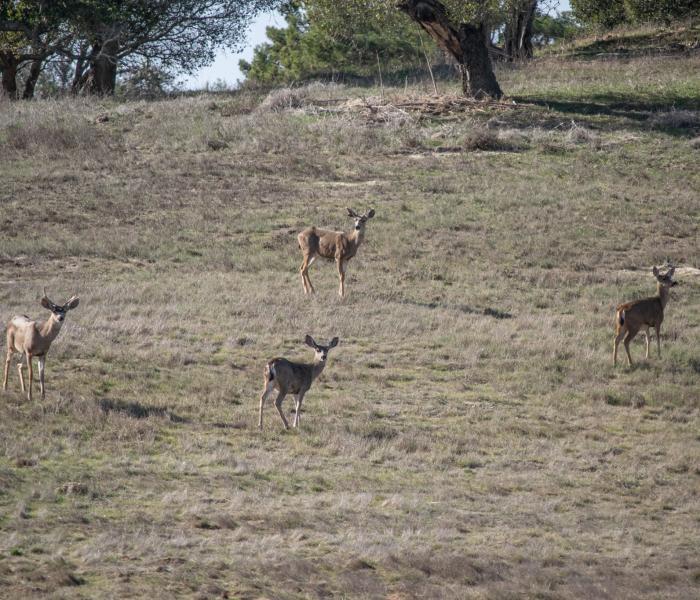 Deer Laguna Seca wlidlife