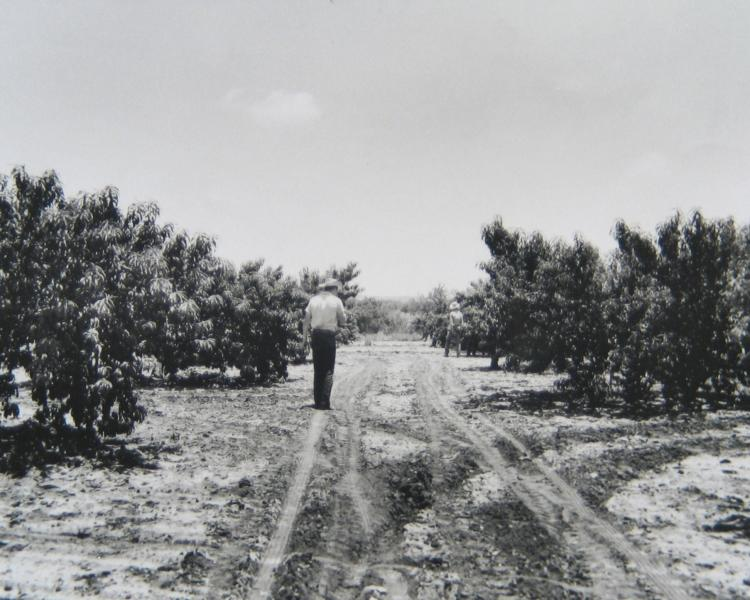Orchards in Gillespie County have been producing peaches for more than 70 years.