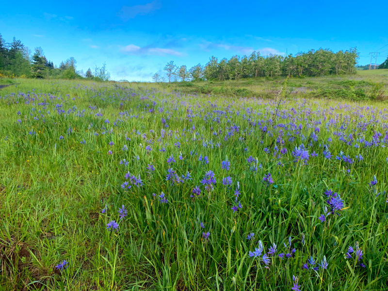 A meadow full of green grass and indigo camas flowers with blue sky above.