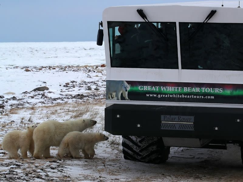 Three polar bears stand just outside of a Creat White Bear Tours tundra vehicle