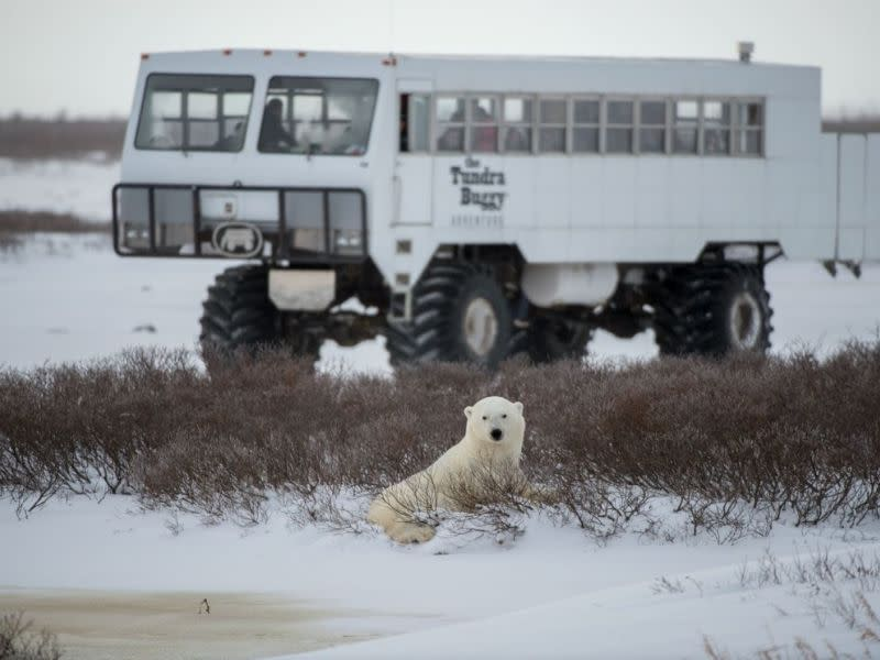A polar bear lays on the snowy tundra with a Tundra Buggy in the background