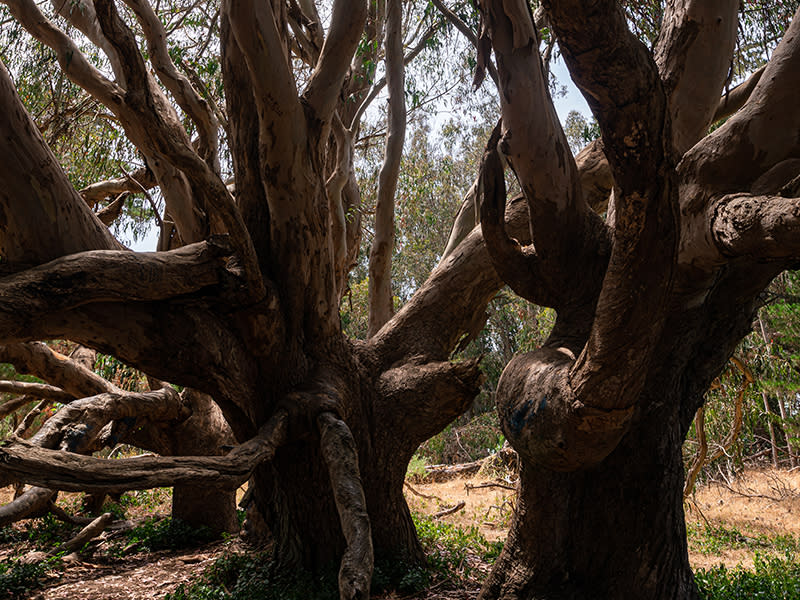 Two large intertwined trees at Estero Bluffs State Park in SLO CAL