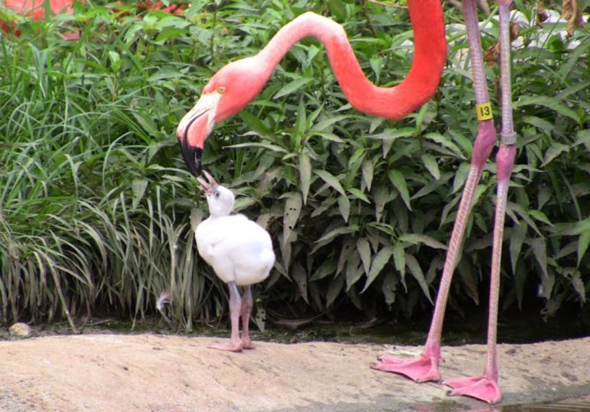 FlamingoChick-DOB61113