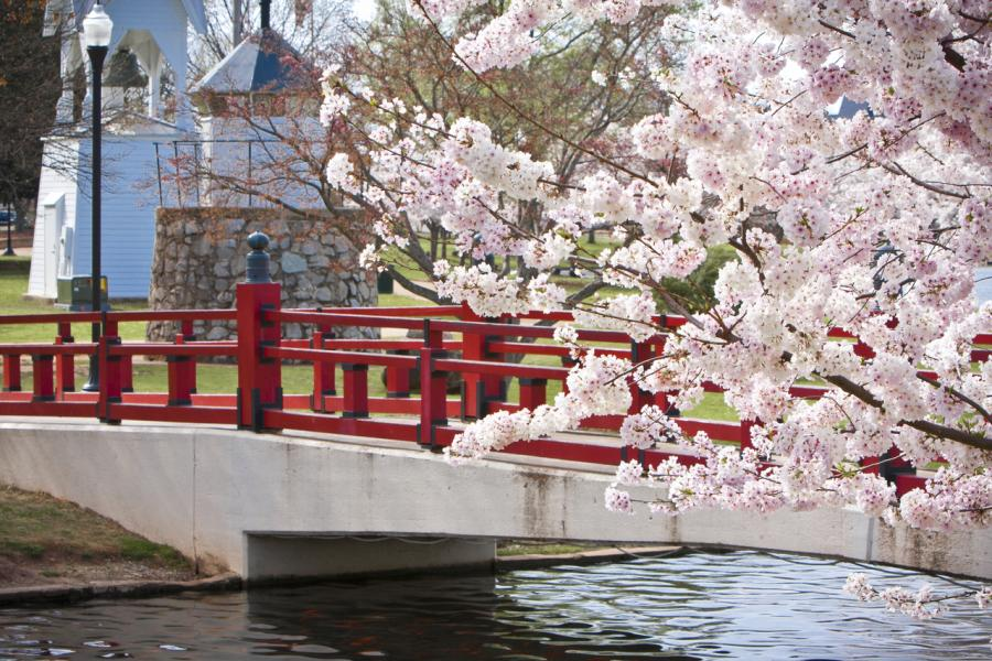 Cherry Trees Big Spring Park Red Bridge