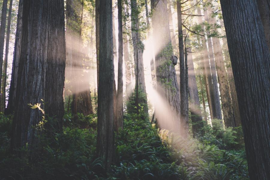 Sunshine-shining-through-the-redwoods