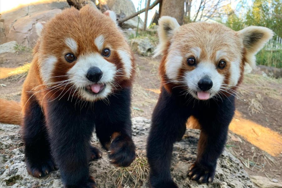 Red Pandas Sunsari & Ravi at Sedgwick County Zoo