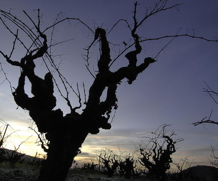 Old Vine