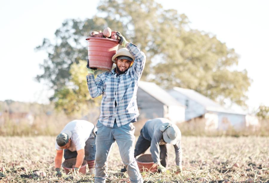 Sweet potato farmer in Princeton, NC.