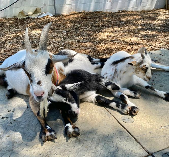 Goats lounging at Wild Kid Acres