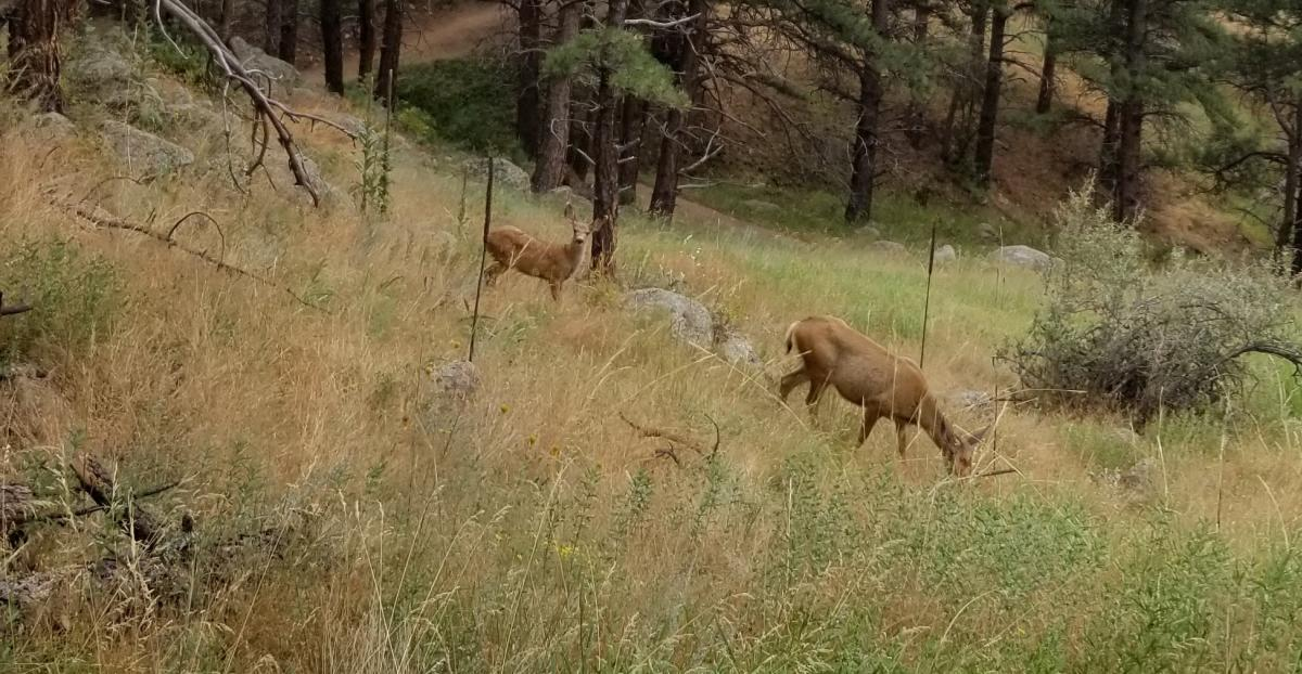 Deer on Lions Lair Trail