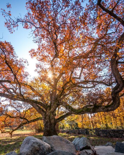 Bedford Oak Cropped