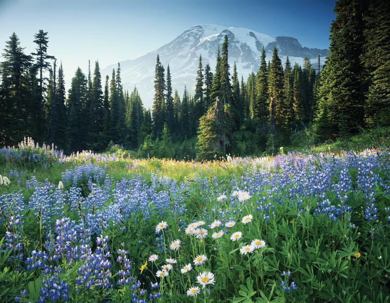 Mount Rainier with Field of Wildflowers