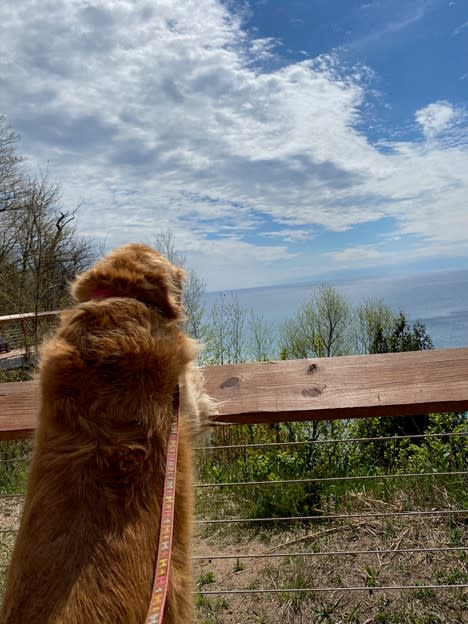 Golden Retriever, Cookie, Takes in the View