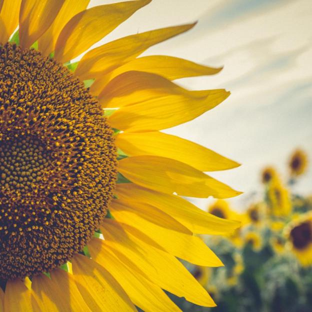 Sunflowers in Manhattan