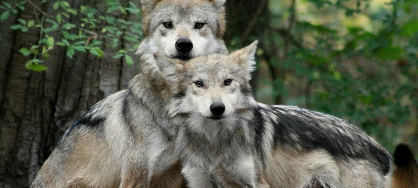Wolf Conservation