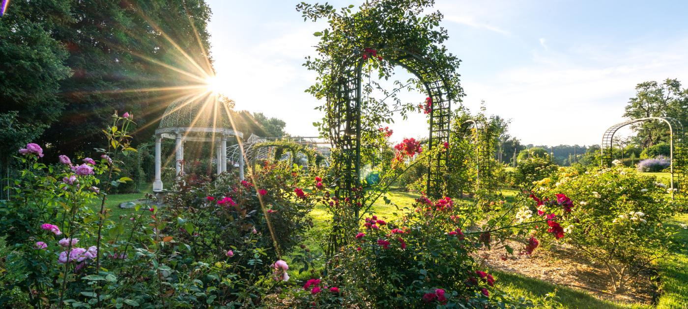 Lyndhurst Garden Rose