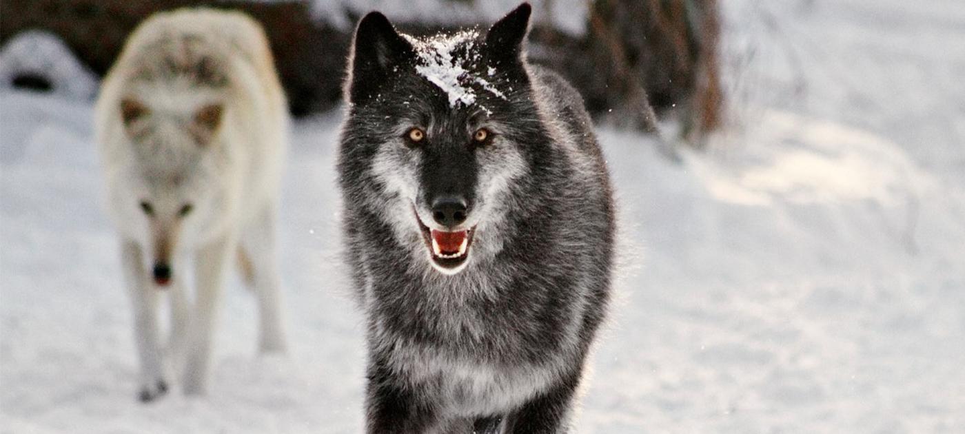 Wolves in Snow n