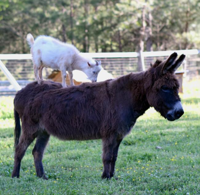 Spring Haven Farm, Annie the Donkey