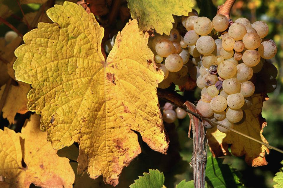 Riesling grapes on a vine at harvest
