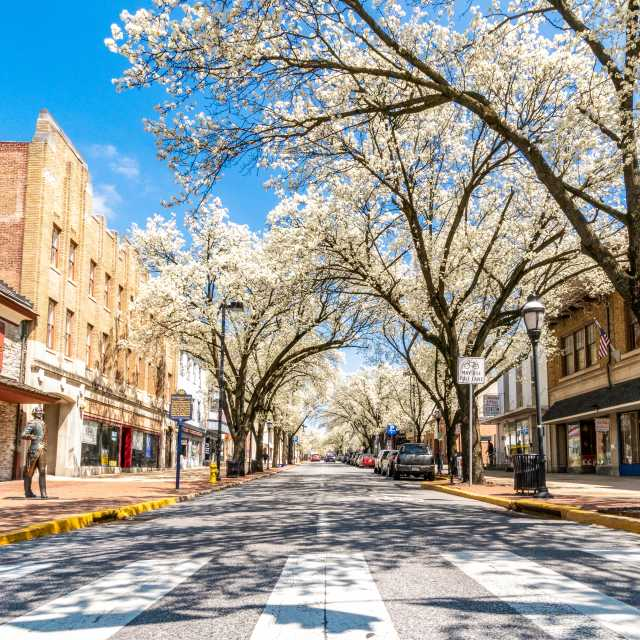 Trees in Bloom on a Downtown Street