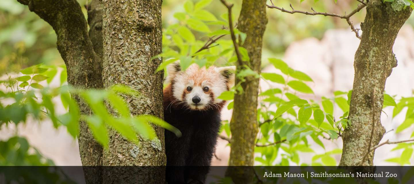 Red Panda at Smithsonian Zoo