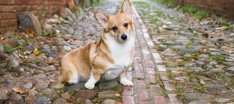 Dog on Cobblestones