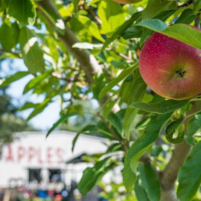 Apple Picking Near Asheville, N.C.