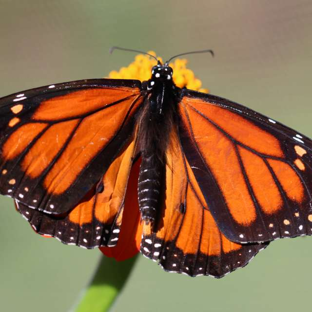 Where to See the Monarch Butterfly Migration in Asheville