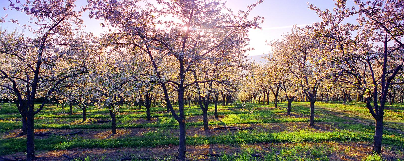 Before The Fruit Comes Blossom Season In Kelowna