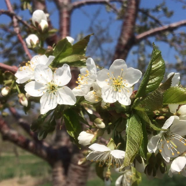 Cherry Blossoms at 45 North Vineyard & Winery