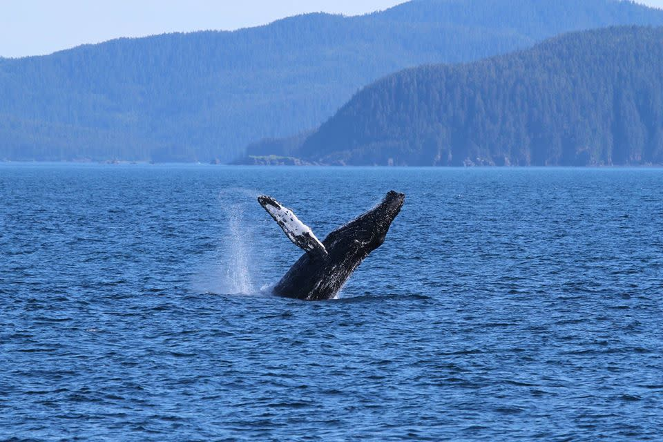 a humpback whale breaching in Prince William Sound