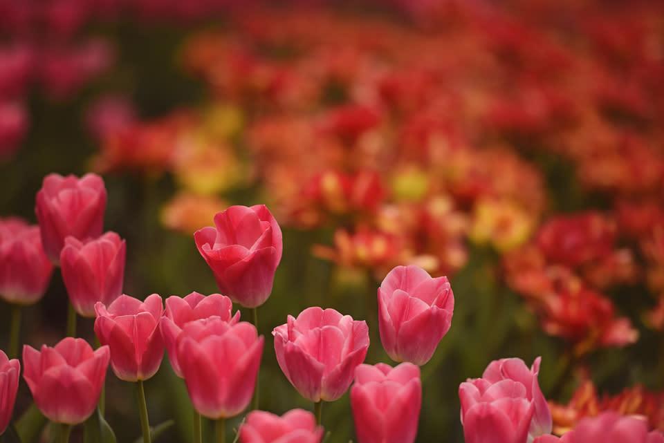 Garden - Tulips