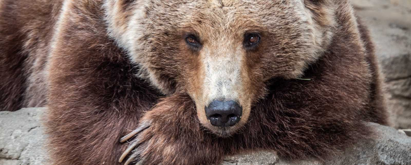 Denver Zoo's rescued grizzly bear